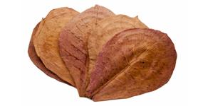 Mandľovník morský - Catappa leaves